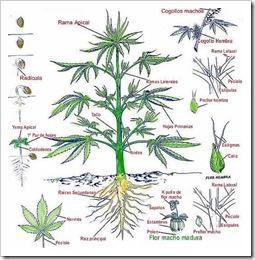 planta-marihuana