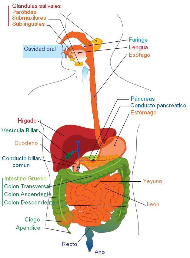 aparato digestivo espanol1 Aparato digestivo ,dibujo