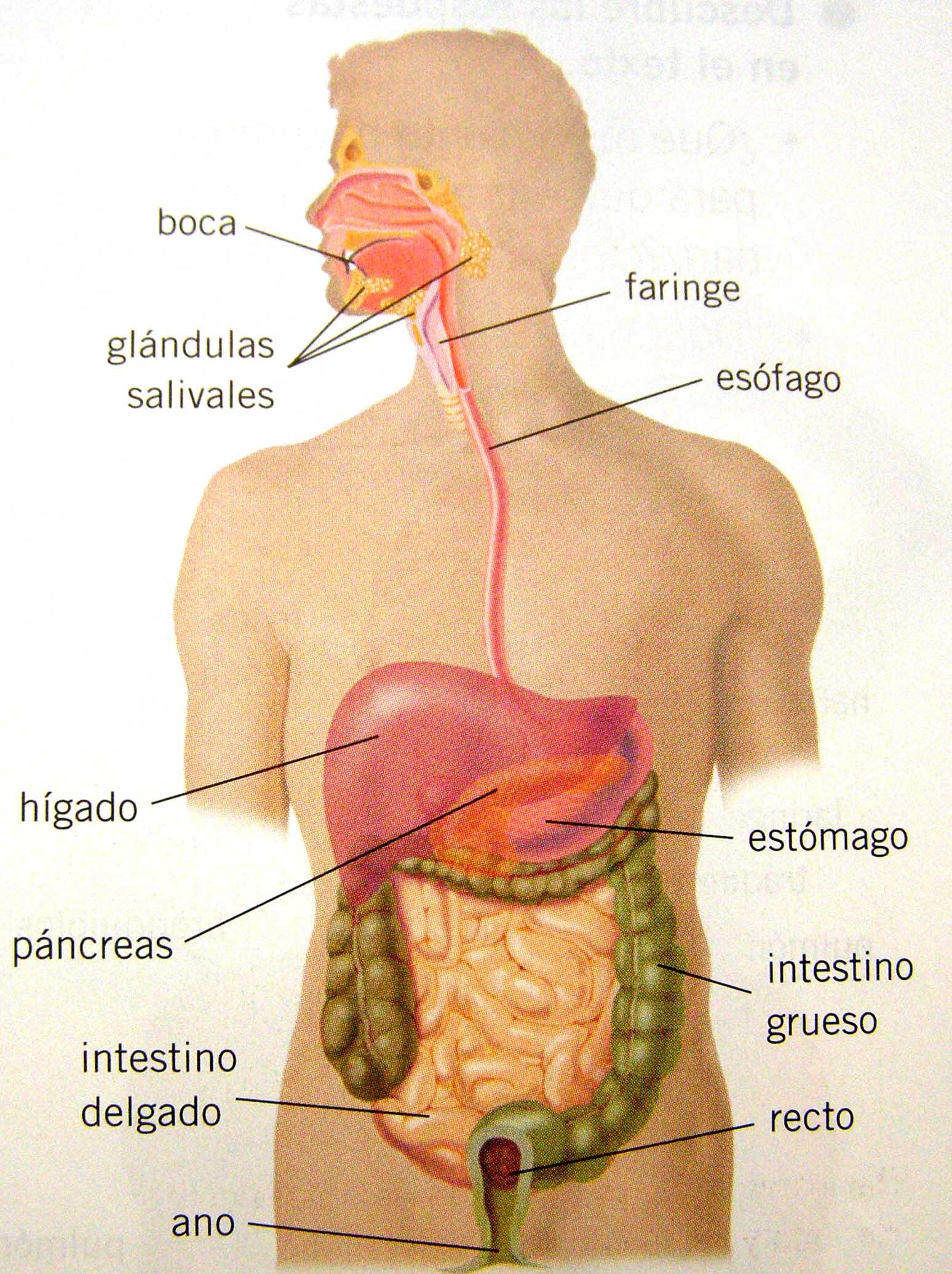 Cuerpo Humano - Aparato Digestivo Básico - Ciencia y Educación ...