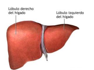 higado2 Dibujo del hígado