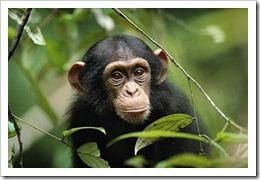 chimpance-portada