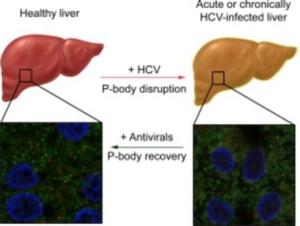 hepatitis-celulas