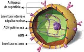 celula hepatitis C