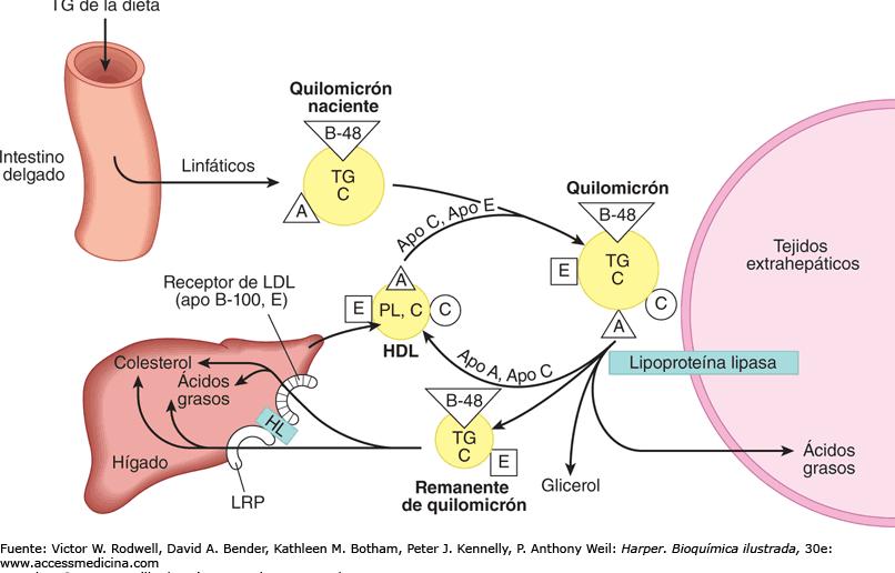 Dibujo síntesis de ApoE proteina y el hígado
